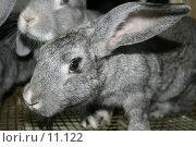 Купить «Кролик серый домашний», фото № 11122, снято 27 августа 2006 г. (c) Александр Паррус / Фотобанк Лори