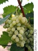 Купить «Кисть зеленого винограда с листьями», фото № 11270, снято 20 августа 2006 г. (c) Александр Паррус / Фотобанк Лори