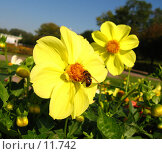 Купить «Пчела на цветке георгина», фото № 11742, снято 24 сентября 2006 г. (c) Маргарита Лир / Фотобанк Лори