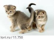 Купить «Два котенка», фото № 11750, снято 27 ноября 2005 г. (c) Vladimir Suponev / Фотобанк Лори