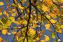 Осенние ветки липы, желтые листья, голубое небо, фото № 11830, снято 1 ноября 2006 г. (c) Tamara Kulikova / Фотобанк Лори
