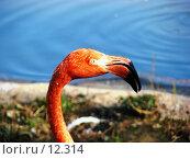 Купить «Московский зоопарк. Портрет фламинго», фото № 12314, снято 24 сентября 2006 г. (c) Roki / Фотобанк Лори