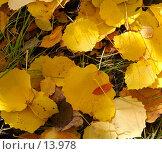 Купить «Желтая листва осины, фон», фото № 13978, снято 21 сентября 2006 г. (c) Ольга Красавина / Фотобанк Лори