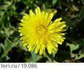 Купить «Цветение одуванчика», фото № 19086, снято 14 мая 2006 г. (c) Сергей Ксейдор / Фотобанк Лори