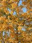 Береза в золоте, фото № 19466, снято 28 марта 2017 г. (c) Старостин Сергей / Фотобанк Лори
