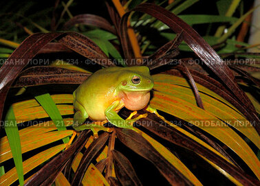 Купить «Litoria caerulea. Самец древесной лягушки, поющий на мокром листе пальмы», фото № 21234, снято 3 февраля 2007 г. (c) Eleanor Wilks / Фотобанк Лори