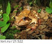 Купить «Лупоглазая лягушка-квакушка», фото № 21522, снято 30 июля 2005 г. (c) Fro / Фотобанк Лори