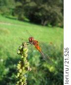 Купить «Рыжая стрекоза», фото № 21526, снято 7 августа 2005 г. (c) Fro / Фотобанк Лори