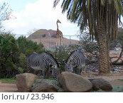 Купить «Зебры едят корм, жираф наблюдает», фото № 23946, снято 15 февраля 2007 г. (c) Julia Nelson / Фотобанк Лори
