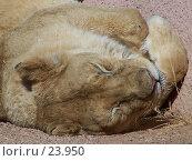 Купить «Львица спит», фото № 23950, снято 15 февраля 2007 г. (c) Julia Nelson / Фотобанк Лори