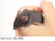 Купить «Серый мышонок в руке», фото № 26346, снято 18 марта 2007 г. (c) Golden_Tulip / Фотобанк Лори