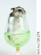 Купить «Джунгарский хомячок выглядывает из бокала с зеленой жидкостью», фото № 28274, снято 18 марта 2007 г. (c) Сергей Лешков / Фотобанк Лори