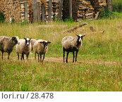 Купить «Небольшое стадо бредущих баранов и овец. На заднем плане заготовки дров.», фото № 28478, снято 3 августа 2006 г. (c) Ольга Хорькова / Фотобанк Лори