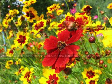 Купить «Красные и желтые цветы космеи», фото № 28598, снято 21 августа 2006 г. (c) Ольга Хорькова / Фотобанк Лори