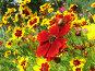 Красные и желтые цветы космеи, фото № 28598, снято 21 августа 2006 г. (c) Ольга Хорькова / Фотобанк Лори