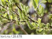 Купить «Цветущая ива», фото № 28678, снято 13 мая 2006 г. (c) Андрей Ерофеев / Фотобанк Лори