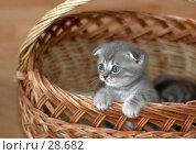 Котёнок в корзинке. Стоковое фото, фотограф Игорь Соколов / Фотобанк Лори