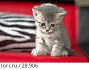 Купить «Котёнок задумался», фото № 28906, снято 13 мая 2006 г. (c) Игорь Соколов / Фотобанк Лори