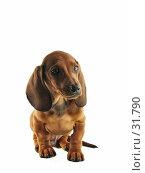 Купить «Карликовая такса на белом фоне», фото № 31790, снято 10 апреля 2007 г. (c) Ольга Хорькова / Фотобанк Лори