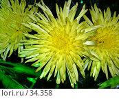 Купить «Три хризантемы», фото № 34358, снято 13 апреля 2007 г. (c) Сергей / Фотобанк Лори