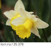 Купить «Нарциссы», фото № 35378, снято 21 апреля 2007 г. (c) Андрей Ерофеев / Фотобанк Лори