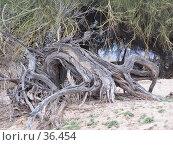 Купить «Корни высохшего дерева. Пустыня Sonoran. Аризона.», фото № 36454, снято 15 июля 2018 г. (c) Julia Nelson / Фотобанк Лори