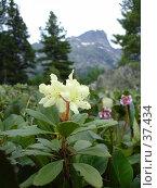 Купить «Горный цветок багульника болотного», фото № 37434, снято 4 июля 2006 г. (c) Маря / Фотобанк Лори