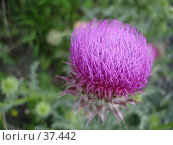 Купить «Цветок чертополоха», фото № 37442, снято 19 июля 2006 г. (c) Маря / Фотобанк Лори