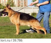 Купить «Собака Rantonita Bismark  породы немецкая овчарка в стойке», фото № 39786, снято 1 мая 2007 г. (c) Андрей Жданов / Фотобанк Лори