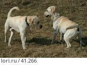 Купить «Знакомство двух одинаковых породистых собак», фото № 41266, снято 14 апреля 2007 г. (c) Fro / Фотобанк Лори