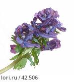 Цветок хохлатка плотная (Corydalis halleri) Стоковое фото, фотограф Петрова Ольга / Фотобанк Лори