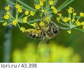 Купить «Пчела», фото № 43398, снято 13 июля 2006 г. (c) Рамиль / Фотобанк Лори