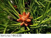 Купить «Ветка сосны», фото № 44638, снято 13 мая 2007 г. (c) Михаил Баевский / Фотобанк Лори