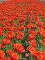 Миллион, миллион алых ... тюльпанов, фото № 44770, снято 19 мая 2007 г. (c) Талдыкин Юрий / Фотобанк Лори