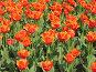 Тюльпаны, фото № 45542, снято 19 мая 2007 г. (c) Талдыкин Юрий / Фотобанк Лори