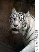 Купить «Белый тигр», фото № 46358, снято 9 июля 2005 г. (c) Морозова Татьяна / Фотобанк Лори