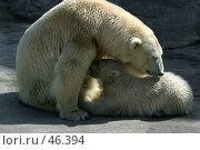 Купить «Семья белых полярных медведей», фото № 46394, снято 12 апреля 2006 г. (c) Морозова Татьяна / Фотобанк Лори