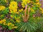 Ветка ели (с женскими шишками) на фоне желтых цветов, фото № 48102, снято 29 мая 2007 г. (c) Игорь Ворончихин / Фотобанк Лори