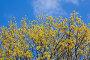 Весенний клен, фото № 48822, снято 10 мая 2007 г. (c) Argument / Фотобанк Лори