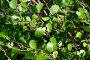 Листья карликовой березы, фото № 51426, снято 8 июля 2006 г. (c) Ольга Красавина / Фотобанк Лори