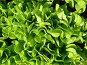 Листья салата, фото № 51858, снято 11 июня 2007 г. (c) Каримов Виль / Фотобанк Лори