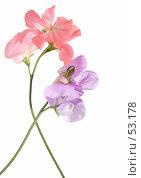 Купить «Душистый горошек, розовый и лиловый цветы», фото № 53178, снято 17 июня 2007 г. (c) Tamara Kulikova / Фотобанк Лори