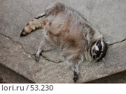 Купить «Енот-полоскун», фото № 53230, снято 17 июня 2007 г. (c) Golden_Tulip / Фотобанк Лори