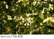 Купить «Фон из листьев каштана», фото № 54438, снято 19 ноября 2018 г. (c) Елена Мельникова / Фотобанк Лори