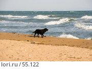 Черный лабрадор-ретривер на морском берегу. Стоковое фото, фотограф SummeRain / Фотобанк Лори
