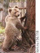 Купить «Медведь стоит на задних лапах рядом с деревом», фото № 56118, снято 8 октября 2006 г. (c) Останина Екатерина / Фотобанк Лори