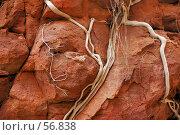 Купить «Корни эвкалипта на скале из розового песчаника», фото № 56838, снято 5 июля 2007 г. (c) Eleanor Wilks / Фотобанк Лори