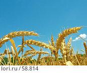 Купить «Спелые колосья пшеницы. Лето. Полдень.», фото № 58814, снято 2 июля 2007 г. (c) Петрова Ольга / Фотобанк Лори