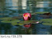 Купить «Розовый цветок лилии-кувшинки в обрамлении листьев с отражением в воде», фото № 59378, снято 7 июля 2007 г. (c) Demyanyuk Kateryna / Фотобанк Лори