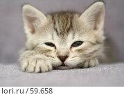 Маленький серый котенок. Стоковое фото, фотограф Останина Екатерина / Фотобанк Лори